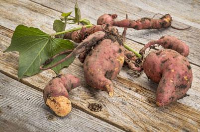sweet potato freshly harvested