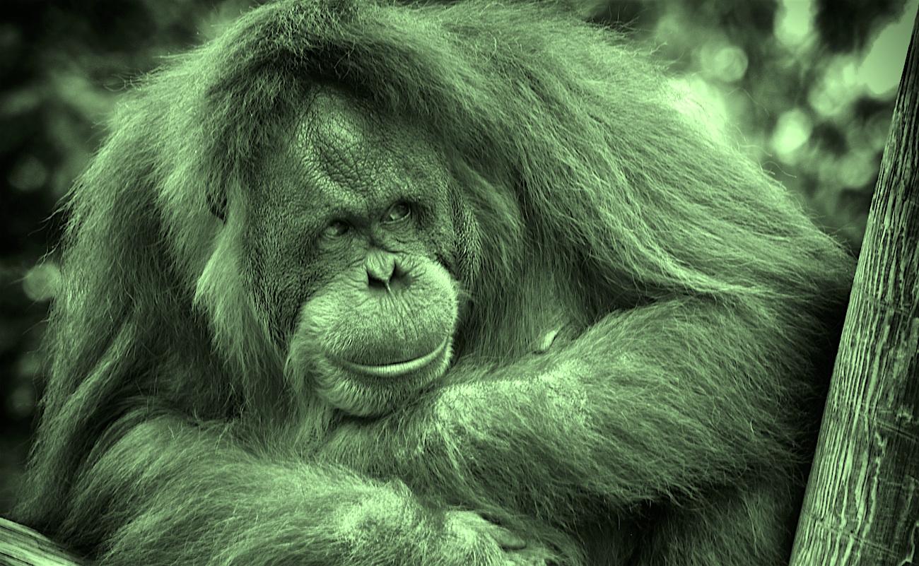 Orangutans Dan's Plan